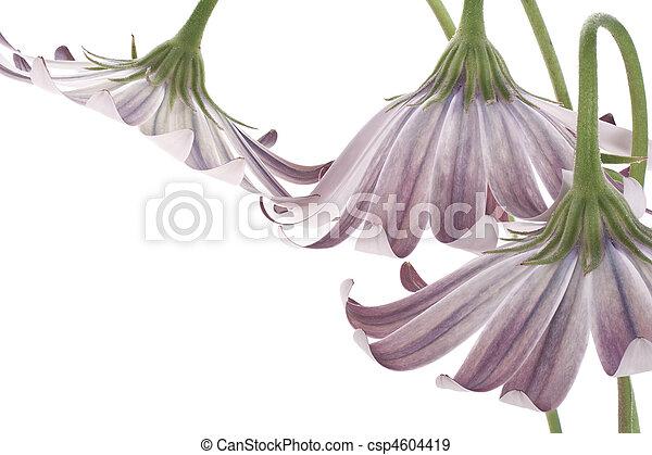 osteospermum - csp4604419