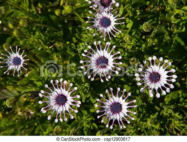 osteospermum, witte , madeliefjes - csp12903817