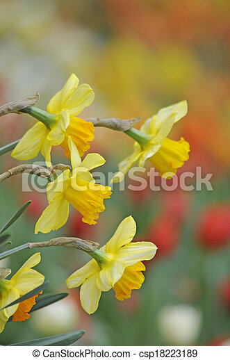 Osterglocken Osterglocke Osterglocken Narzisse Narzissen Blume