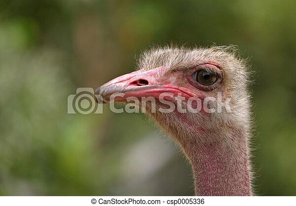 Ostrich 1 - csp0005336