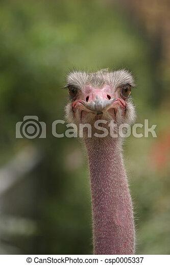 Ostrich 2 - csp0005337