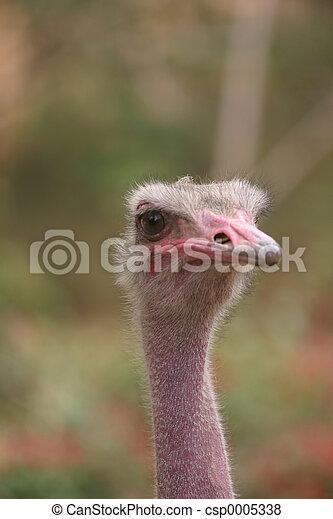 Ostrich 3 - csp0005338