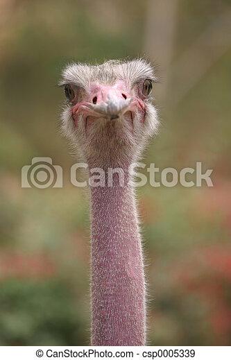Ostrich 4 - csp0005339