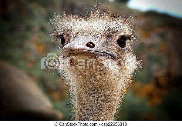 Ostrich head - csp22656318