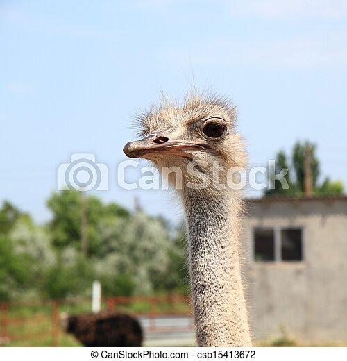 Ostrich - csp15413672