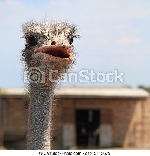 Ostrich - csp15413679