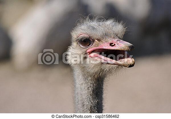 Ostrich - csp31586462