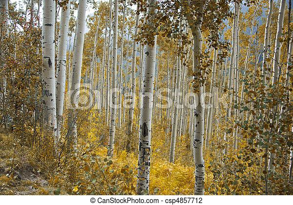 Aspens en otoño - csp4857712