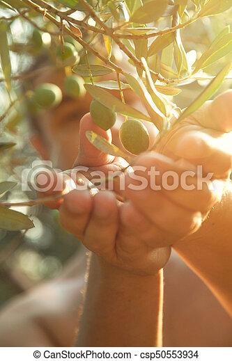 Las aceitunas cosechan en otoño - csp50553934