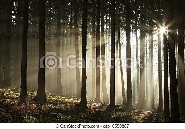 otoño, bosque brumoso, salida del sol - csp10550887
