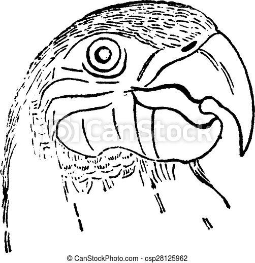 ouderwetse hoofd papegaai engraving natuurlijke