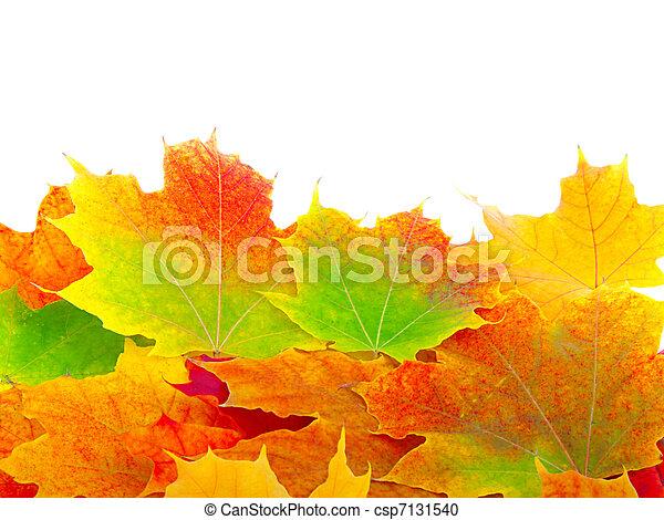 outono sai, maple, fundo - csp7131540