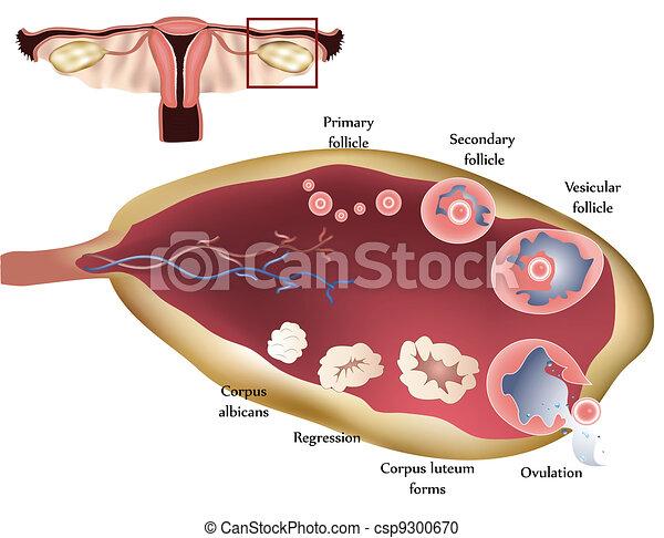 Ovary - csp9300670