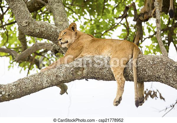 overblijfsels, leeuw, boompje, afrikaan - csp21778952