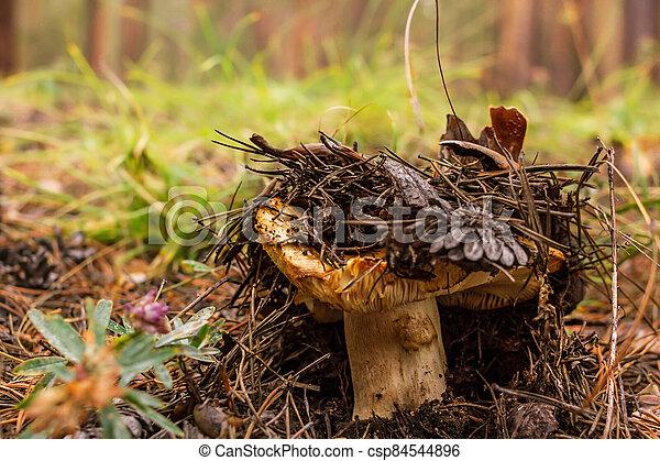Overripe saffron milk cap grows in fallen needles and pinecones in the forest, mushroom picking season, selective focus - csp84544896
