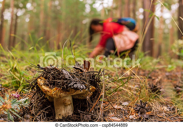 Overripe saffron milk cap in the coniferous forest and mushroom picker in the background, selective focus, close up - csp84544889