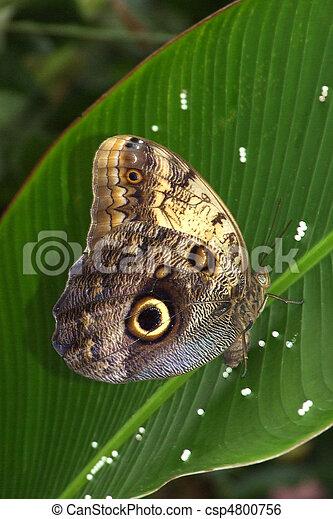 Owl Butterfly - csp4800756