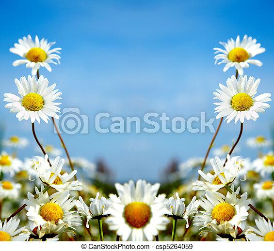 ox-eye daisy - csp5264059