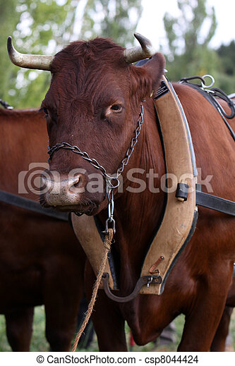 Ox with harness in front of a wagon.