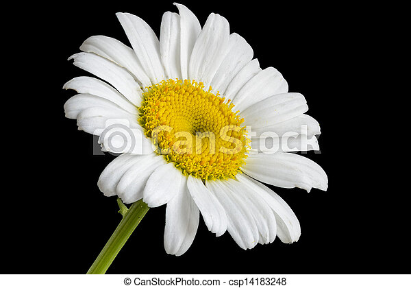 Oxeye Daisy Small Texas Wildflower With A Yellow Center And White