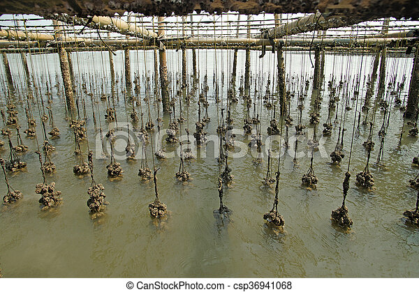 oysters farm in the sea - csp36941068