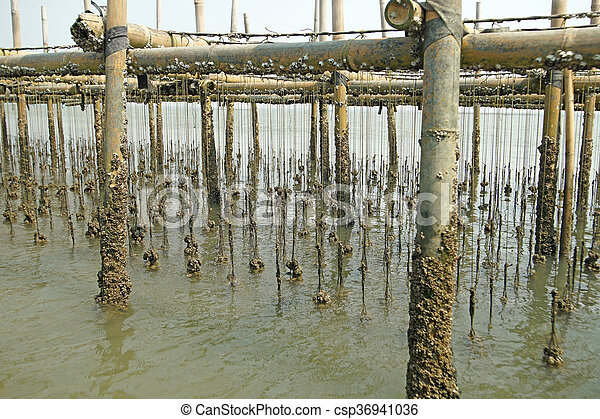 oysters farm in the sea - csp36941036