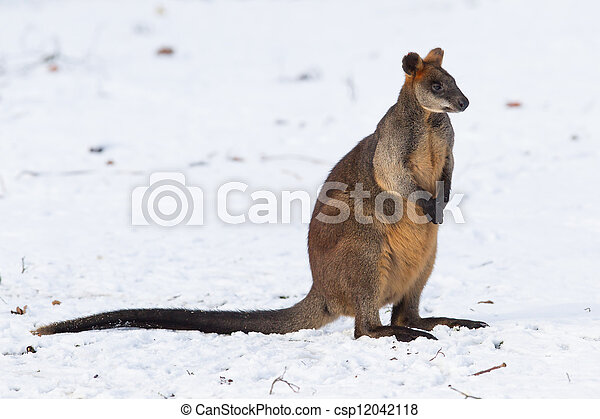 pântano, neve, wallaby - csp12042118