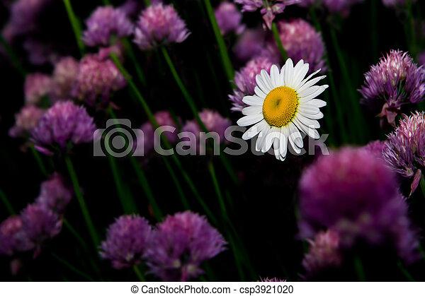 pâquerette fleur - csp3921020