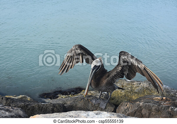 pélican, très, soleil, sécher, sien, grand, ailes - csp55555139