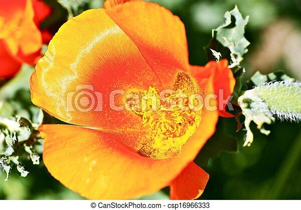pétales, rouge-orange, fleur - csp16966333