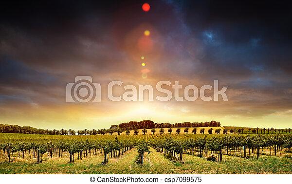 pôr do sol, videiras - csp7099575