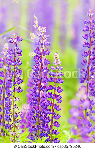 Flores delicadas de lupine púrpura - csp35795246