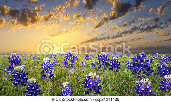 Bluebonnets en el país de Texas Hill - csp21211488