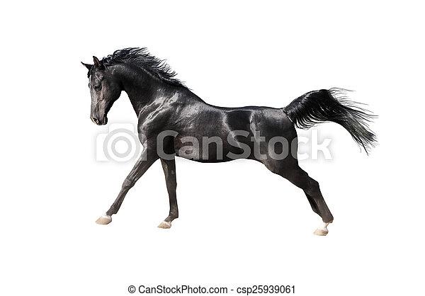 paarde, arabisch, black , vrijstaand, witte  - csp25939061