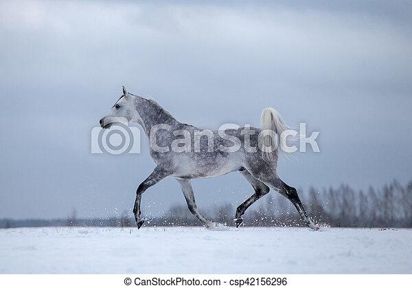 paarde, arabisch, winter, achtergrond - csp42156296