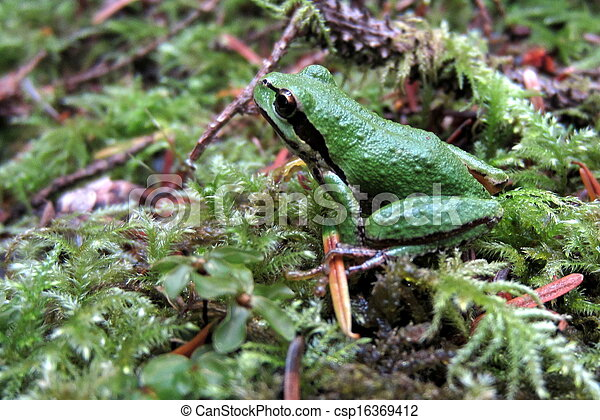 Pacific Chorus Frog on Moss - csp16369412