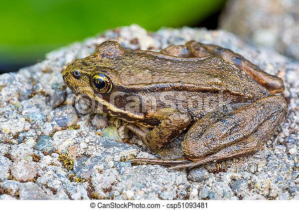 Pacific Tree Frog Closeup - csp51093481