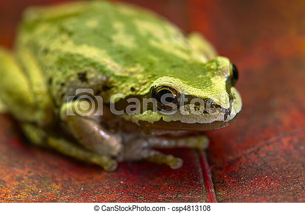 Pacific Tree Frog on Maple Leaves 2 - csp4813108