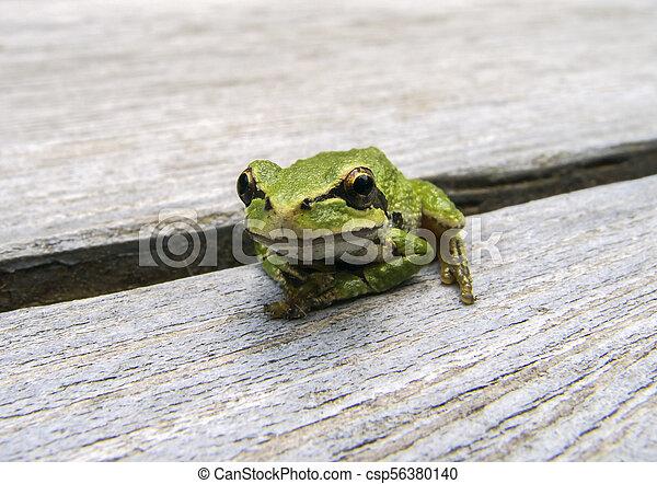 Pacific tree frog (Pseudacris regilla) - csp56380140