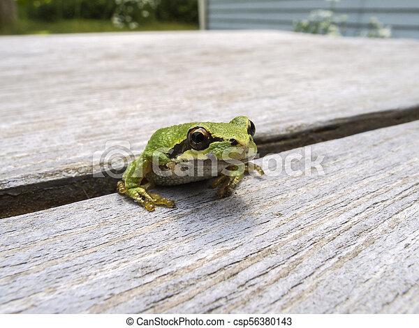 Pacific tree frog (Pseudacris regilla) - csp56380143