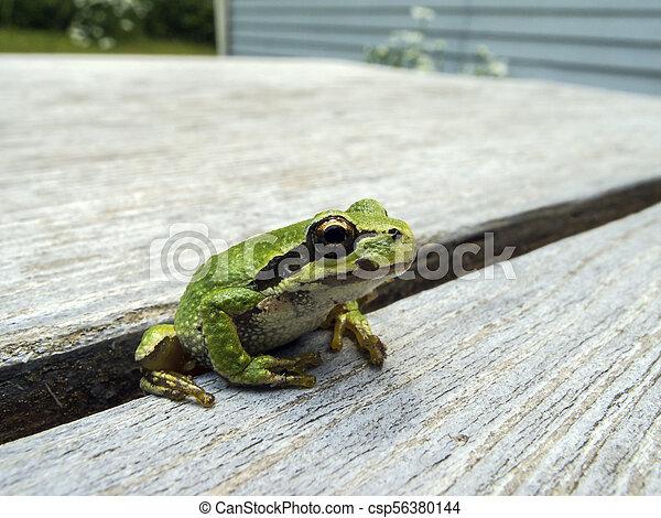 Pacific tree frog (Pseudacris regilla) - csp56380144