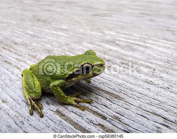 Pacific tree frog (Pseudacris regilla) - csp56380145