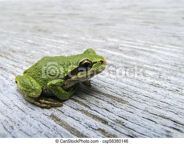 Pacific tree frog (Pseudacris regilla) - csp56380146