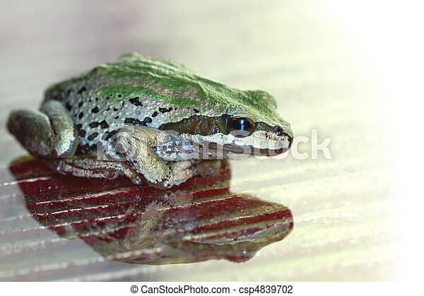 Pacific Tree Frog  Reflection on Glass Surface - csp4839702