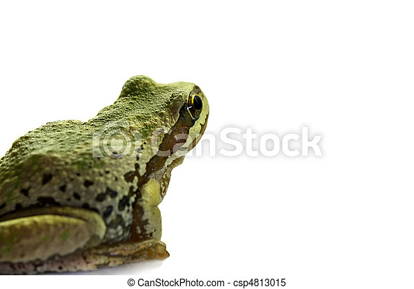 Pacific Tree Frog Sitting 2 - csp4813015