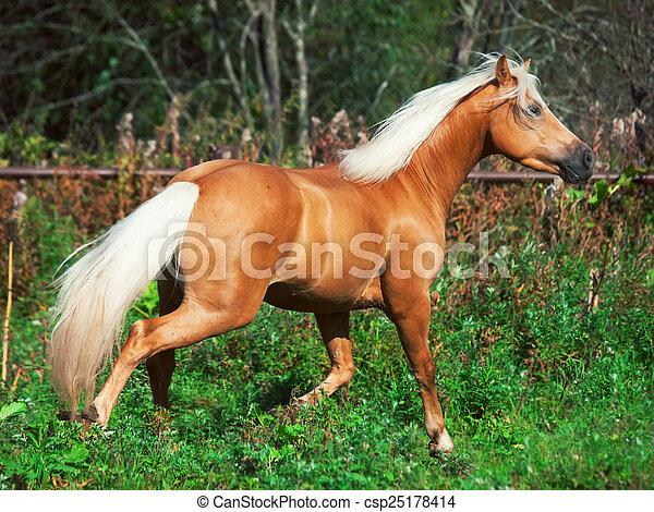 paddock, rennende , paarde, palomino - csp25178414