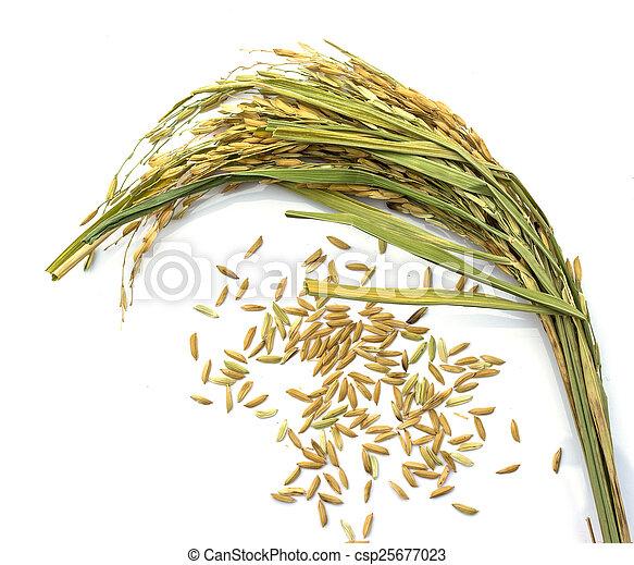 paddy jasmine rice on white background - csp25677023