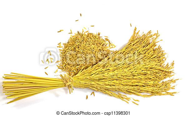 paddy jasmine rice on white background - csp11398301