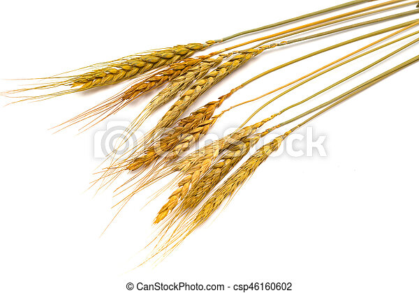 paddy on a white background - csp46160602