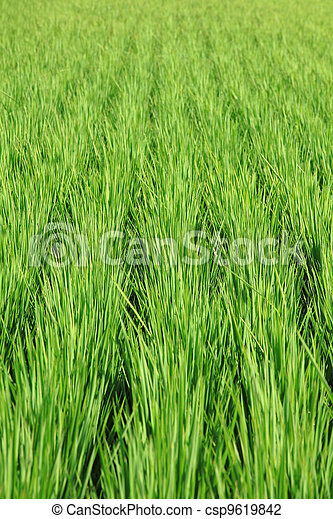 paddy rice in field - csp9619842